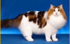 挪威森林猫怎么养?谈挪威森林猫吃什么猫粮
