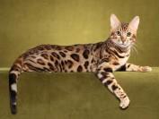 孟加拉豹猫会不会游泳?孟加拉豹猫喜欢玩水吗?