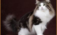 挪威森林猫多少钱一只,谈挪威森林猫价格