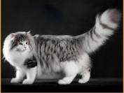 挪威森林猫中国有么?谈挪威森林猫哪里有卖