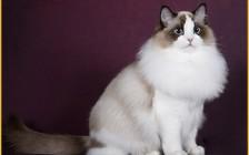布偶猫血统证书怎么看?猫咪cfa血统证书查询的方法