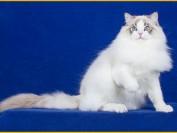 毛球猫舍_雅典娜猫舍_missmiao布偶猫舍_ragball布偶猫舍_有人知道吗?