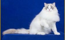 【布偶猫】关于布偶猫幼猫品相挑选的秘密