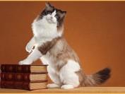 布偶猫太活泼咬人_布偶猫为什么有的性格调皮不温顺?