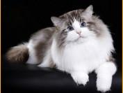 布偶猫很凶_布偶猫脾气暴躁老咬人_ 布偶猫频繁咬人怎么办?