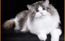 【布偶猫】国内重点色布偶猫稀缺吗?价格多少?