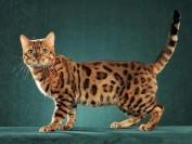 谈孟加拉豹猫颜色中的孟加拉豹猫金豹