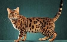 野生豹猫多少钱一只?野生豹猫是保护动物吗?