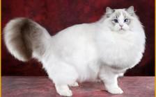 正规布偶猫猫舍_国内十大顶级布偶猫舍_布偶猫舍推荐