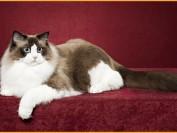 布偶猫的缺点和优点,布偶猫为什么不能养?