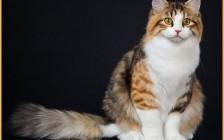 西伯利亚森林猫在哪买?西伯利亚猫价格多少钱?