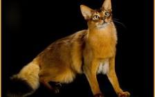 索马里猫的品种简介