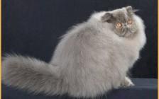 波斯猫的几个养护要点?