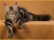 缅因猫知识科普:三个月体长多少?