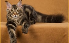 【缅因猫舍】缅因猫幼猫不会出现大量掉毛的现象,7-12个月开始发毛爆毛