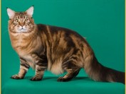 【缅因猫】缅因猫多大发情_发情怎么办?