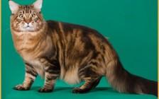 缅因猫性格倔强,缅因猫粘人程度2颗星,缺点价格贵