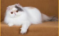 波斯猫怎么养?波斯猫饲养