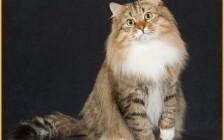 西伯利亚猫多大?谈西伯利亚森林猫能长多大
