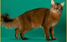 《索马里猫常见疾病及应对措施详解篇》