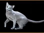 关于俄罗斯蓝猫的CFA评分标准