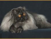 波斯猫流泪不一定是眼部患病