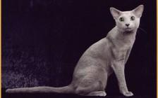 WCF俄罗斯蓝猫品种标准_俄蓝评分标准