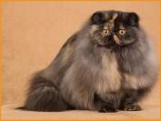玳瑁猫是什么猫?玳瑁猫价格多少?
