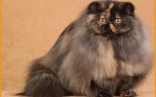 给波斯猫洗澡应该注意什么?