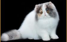 波斯猫怎么样?波斯猫性格特点解析