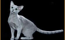 俄罗斯蓝猫的性格讲解