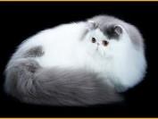 波斯猫图片,波斯猫起源,波斯猫有什么特点