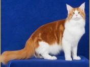 血统纯正的缅因猫价格有的达到了2万元,缅因猫中国有得买吗?