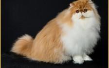 波斯猫和加菲猫哪个好?波斯猫好还是加菲猫好?