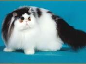 短毛波斯猫多少钱?短毛波斯猫价格