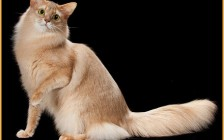 索马里猫的性格特点