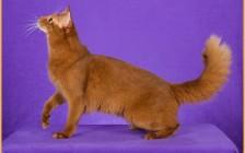 索马里猫的形态特征