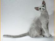 俄罗斯蓝猫的喂养攻略