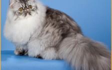 【波斯猫】波斯猫和英短蓝猫交配的话会怎样?