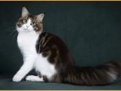 【缅因猫舍】缅因猫花纹颜色可以分为纯色_烟色_虎斑_玳瑁_三花_双色等