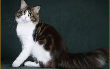 【缅因猫】俄罗斯猫舍的缅因猫价格在1k~2k欧元左右,国外买缅因猫不难