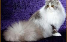 波斯猫和加菲猫有什么区别?波斯猫和加菲猫的区别介绍