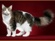 缅因猫几个月性成熟?一窝能生几只?多久发一次情?