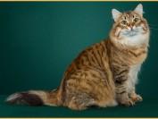 西伯利亚猫怕热吗?谈猫中之狗西伯利亚猫