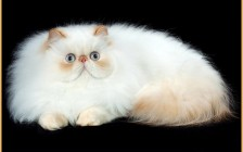 波斯猫要怎么帮它有效梳毛?