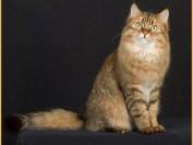 西伯利亚森林猫掉毛吗?谈西伯利亚森林猫的低过敏性