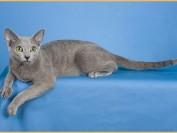 俄罗斯蓝猫掉毛的正确处理方法