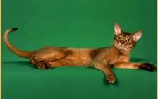 《阿比西尼亚猫专业喂养方式详解篇》