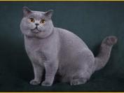 英短猫怎么养?新手养蓝猫注意事项