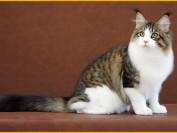 缅因猫幼猫怎么选?缅因猫·品相详解哪里有?